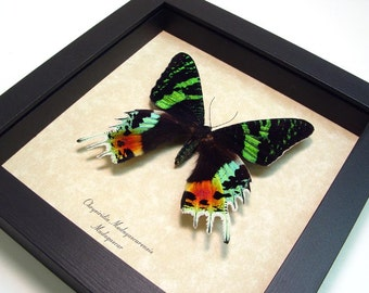 Wedding Day Gift Real Framed Sunset Moth Conservation Quality Display 163