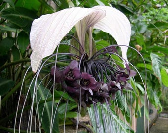 50 Seeds Tacca integrifolia, White Bat flowerSeeds, white tacca Seeds