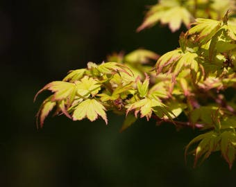 Maple Leaves Photograph, Leaf Wall Art, Yellow Leaves Art, Nature Print for Home or Office, Japanese Maple Zen Wall Decor, bedroom, Bathroom