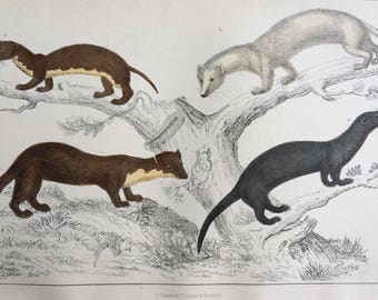 1852 Original Antique Hand-Coloured Engraving - Ermine, Weasel, Pine Marten, Vison - Wildlife - Zoology - Natural History - Decorative Print