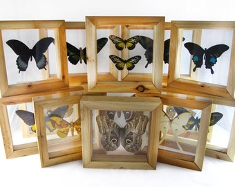 Framed Real Butterfly in Natural Wood Double Glass Frame