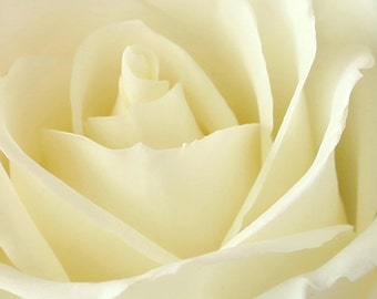 Fine Art Photography, Macro Photography, Floral, Wall Art, Ivory, Rose, 5x5 Fine Art print