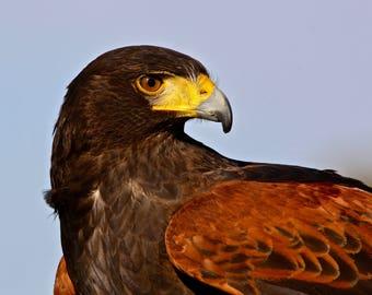 Harris Hawk, wall art, hunting art, rustic art, rural art, nature art, wild bird, bird of prey in natural environment