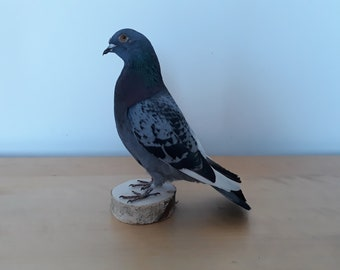 Taxidermy Feral Pigeon