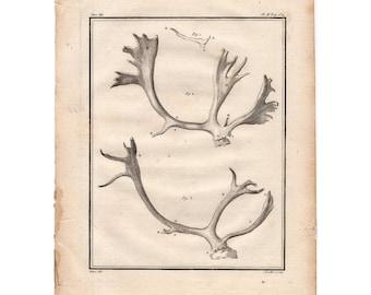 1777 DEER ANTLERS HORNS print original antique animal anatomy engraving