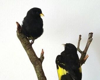 Two stuffed Black siskins/ black siskin / bird curiosity feathers mounted taxidermy Black yellow gold