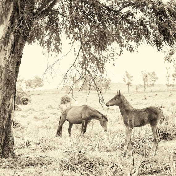 Foal Print. Horse prints, Animal Portraits, Wildlife Print, Square Print, Sepia Photography, Limited edition Print