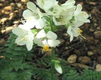 White Pearl Jacob's Ladder Flower Seeds/Perennial  70+