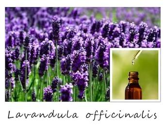 LAVENDER ESSENTIAL OIL, French Lavender Essential Oil, Lavandula officinalis, 100% Pure Therapeutic Essential Oil