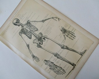 1900s original page - 1905 MEDICAL CHART from antique medical book - skeleton