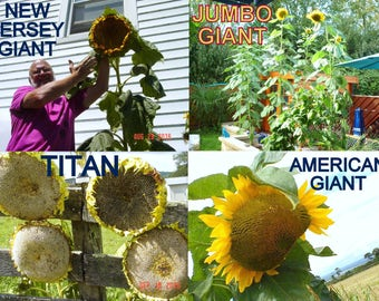 4 GIANT VARIETIES of Sunflowers / Monster Collection / You Get Seeds 2 Grow Em All / Titan - Jumbo Giant - American Giant - New Jersey Giant