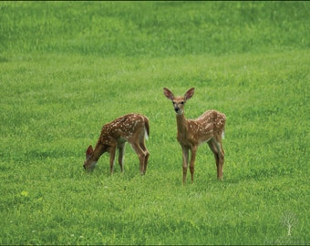 Sibling Fawns Photography Print