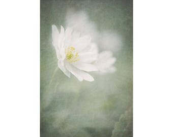 White  Flower Photography,  Spring Anemone, Floral Art Print, White Mint  Wall Decor, Nature Photography
