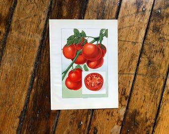 c. 1911 TOMATO PRINT - original antique print - fruit & vegetable print - food print - tomatoes print for kitchen - nightshade print