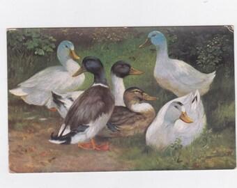 Vintage  ducks post card