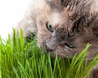 Cat greens grass seeds/ in package 20 g