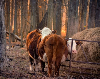 Cow Photography ,farm animal,herefords,cattle,beef cattle,cattle in the woods,cow lover's gift idea,rustic,cute,adorable,woodland,cows,farm