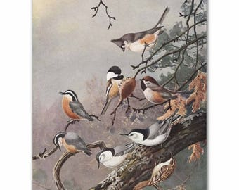 "Chickadees Print, Vintage Bird Art (Bird Illustration, Antique Office Decor) --- ""Chickadee & Nuthatch"" No. 90"