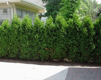 arborvitae Pyramidal live tree evergreen