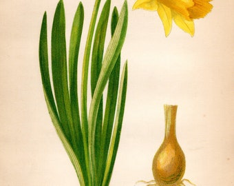 Original 1860 Victorian Flower Plant Print Botanical Chromolithograph - Common Daffodil