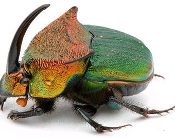 ONE Real Green Phanaeus vindex male horned rhinoceros scarab dung beetle pinned