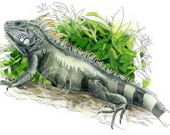 Iguana watercolour - wildlife art - nature print of original artwork