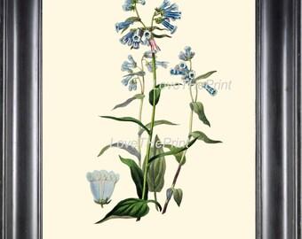 BOTANICAL PRINT Clarke  Botanical Art Print 8 Beautiful Blue Bluebell Flower Mertensia Antique Spring Forest Home Wall Decor to Frame