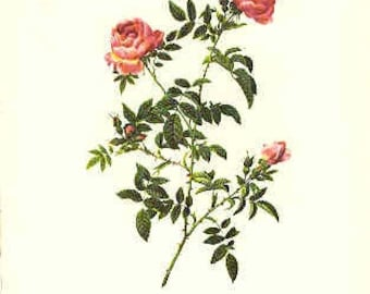 Redoute Botanical Rose Print  12