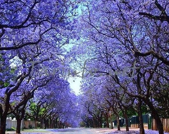 Jacaranda mimosifolia, showy street tree, 20fresh seeds,lavender blossoms, zones 9 to 10, drought tolerant, cool pods for crafts
