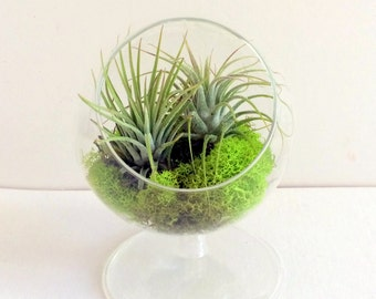 Air Plant Terrarium with a single Sea Urchin Small Table Top Plant Stand Glass