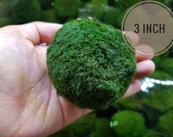 Jumbo Marimo Moss Ball 2-3inch for Terrarium Planted Tanks Live Aquarium Fish Shrimps Indoor Plant - Buy One JUMBO Get One XLarge!