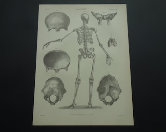 SKELETON print 140+ years old antique anatomy poster 1875 original medical pictures of human skeleton back skull rear view 21x28c 8x11""