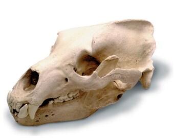Grizzly Bear Replica Skull