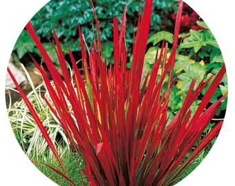 3000pcs a set japanese red grass seed prodgf dwarfgiantfarm hidgf whydgf kaolal weibog kfsee ngryise studio