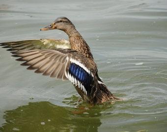 Duck splashing at Lake Mendota