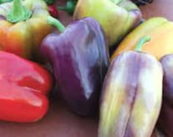 VPPS) PINOT NOIR Pepper~Seeds!!!~~~Amazing Colors!!