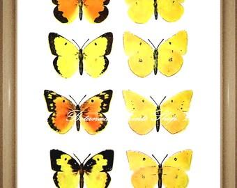 """Butterfly Print. Yellow Wall Art. Orange Sulphur. Butterflies Print. 8x10"""""""