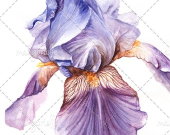 Iris - Botanical illustration - Original Watercolor