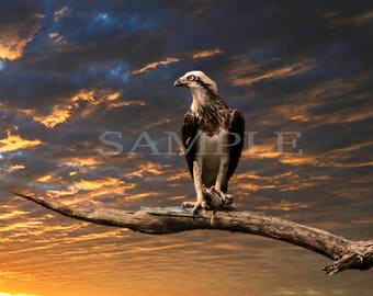 Limited edition 1 of 1 Fine art photography, wildlife, White breasted eagle with cat fish prey at sunset