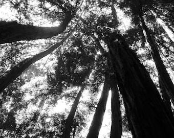 Black & White Nature Photography**Still Life Photography**Redwoods Print**Santa Cruz,CA**Beanstock (like Jack and the Beanstock)