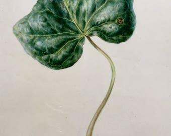 Ivy leaf on vellum board