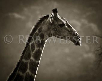 Giraffe 1, 8x10 Sepia Fine Art Photo, num. 3 of Safari Series