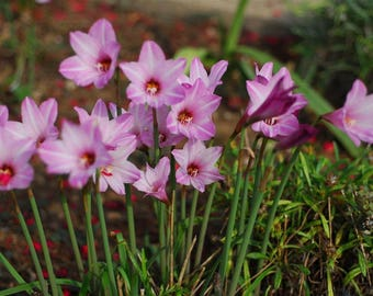 10 Zephyranthes robusta .Pink fairy lily or Pink rain lily Bulbs. Rainlily Bulbs. Habranthus robustus