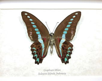 FREE SHIPPING Framed Graphium milon or Milon's Swallowtail Butterfly Taxidermy A1/A1- #133