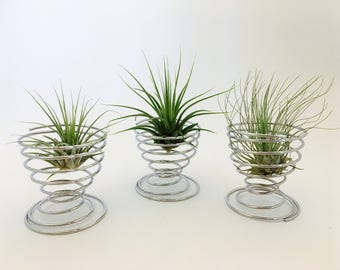 Medium tillandsia air plant holder, terrarium, tillandsia