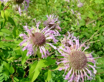 Bee Balm Seeds; Bee Balm Mix; Monarda Seeds; Pollinator Plant; Perennial Seeds; Attracts Butterflies, Beeds and Hummingbirds