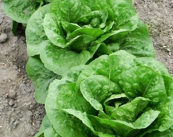 Parris Island Cos Romaine Lettuce Heirloom Garden Seed Non-GMO 200+ Seeds Naturally Grown Open Pollinated Gardening