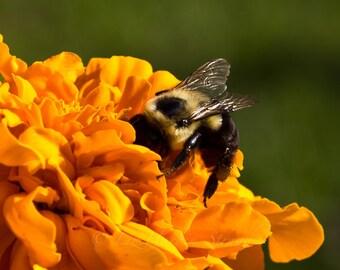 Bumblebee and Marigold Macro/Close Up Photographic Print 8x10