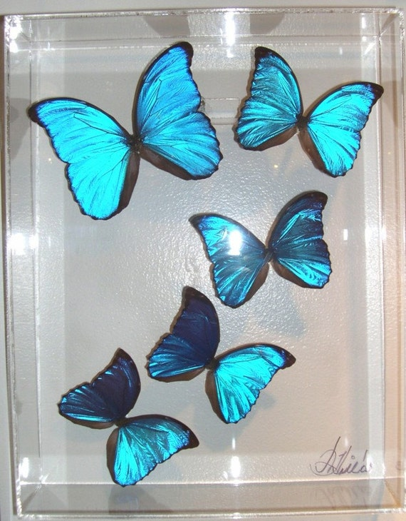 11x3x14 wall panel of real natural blue butterflies - Peru