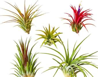 5 pc Air Plants Tillandsia 'Ionantha' Assorted / Terrarium plants / Houseplants